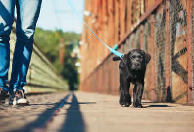 Puppy-Walking-Peterborough