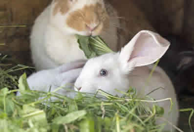 Rabbit-Sitting-and-Feeding-Peterborough