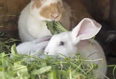 Rabbit-Sitting-and-Feeding-Peterborough
